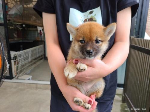 柴犬の子犬(ID:1251211071)の1枚目の写真/更新日:2018-07-18