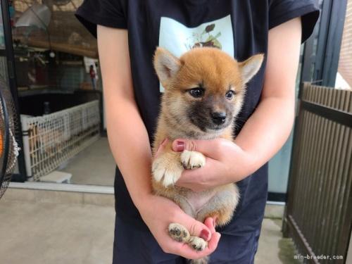 柴犬の子犬(ID:1251211071)の2枚目の写真/更新日:2021-08-12