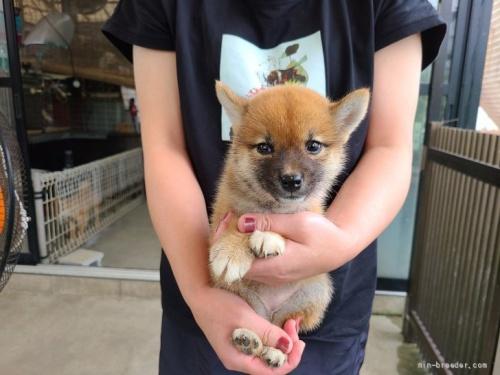 柴犬の子犬(ID:1251211071)の3枚目の写真/更新日:2021-08-12