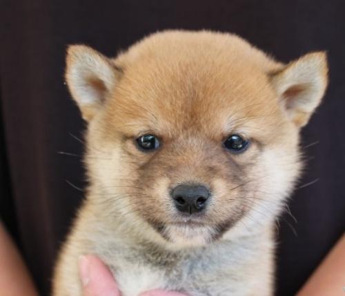 柴犬の子犬(ID:1251211072)の1枚目の写真/更新日:2018-07-18