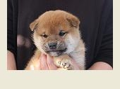 トイプードルの子犬(ID:1251211081)の1枚目の写真/更新日:2017-09-27