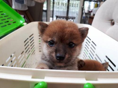柴犬の子犬(ID:1251211089)の1枚目の写真/更新日:2017-09-29