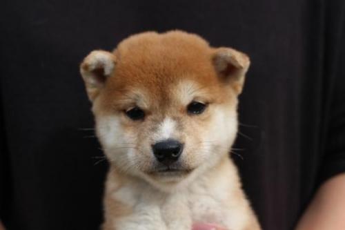 柴犬の子犬(ID:1251211090)の1枚目の写真/更新日:2017-09-29