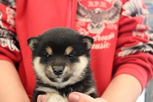 柴犬の子犬(ID:1251211097)の1枚目の写真/更新日:2017-12-25
