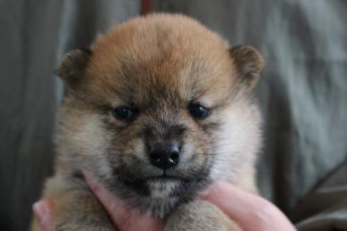 柴犬の子犬(ID:1251211103)の1枚目の写真/更新日:2018-04-23