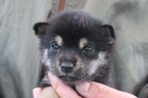 柴犬の子犬(ID:1251211104)の1枚目の写真/更新日:2018-05-04