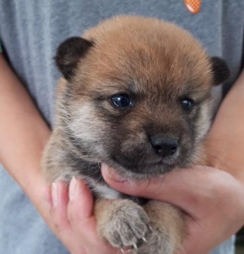 柴犬の子犬(ID:1251211110)の1枚目の写真/更新日:2018-05-31
