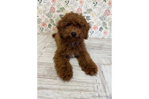 トイプードルの子犬(ID:1251311001)の1枚目の写真/更新日:2018-06-11