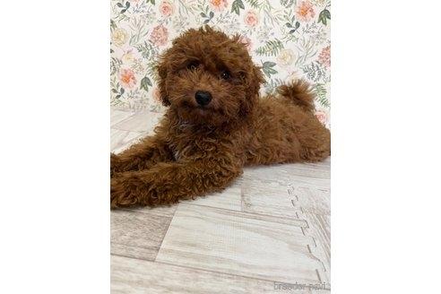 トイプードルの子犬(ID:1251311001)の2枚目の写真/更新日:2018-06-11