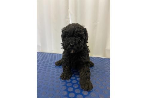 トイプードルの子犬(ID:1251311002)の1枚目の写真/更新日:2018-06-11