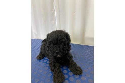 トイプードルの子犬(ID:1251311002)の2枚目の写真/更新日:2018-06-11