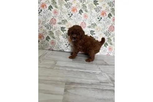 トイプードルの子犬(ID:1251311003)の2枚目の写真/更新日:2018-08-14
