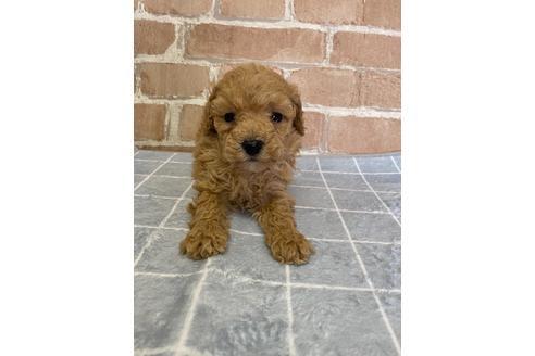 トイプードルの子犬(ID:1251311004)の1枚目の写真/更新日:2018-06-11