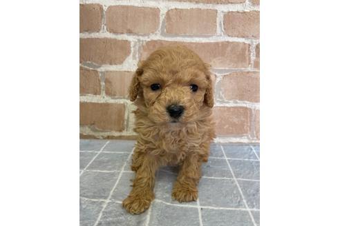 トイプードルの子犬(ID:1251311004)の2枚目の写真/更新日:2018-06-11