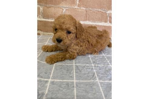 トイプードルの子犬(ID:1251311004)の3枚目の写真/更新日:2018-06-11