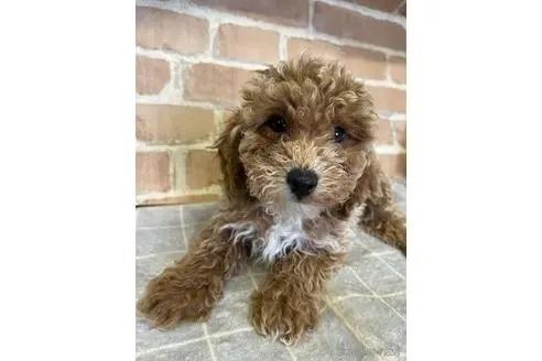 トイプードルの子犬(ID:1251311006)の1枚目の写真/更新日:2018-08-14