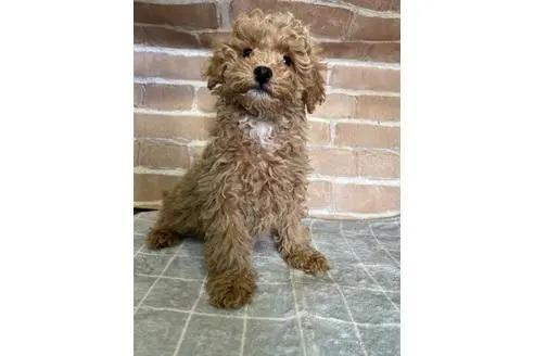 トイプードルの子犬(ID:1251311006)の2枚目の写真/更新日:2018-08-14