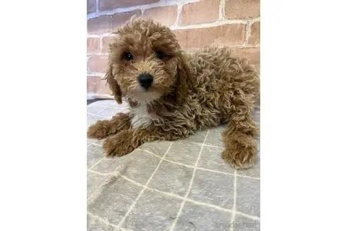 トイプードルの子犬(ID:1251311006)の3枚目の写真/更新日:2018-08-14