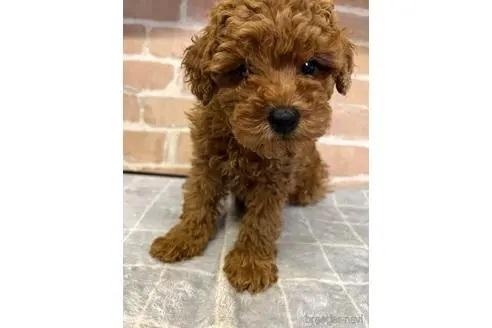 トイプードルの子犬(ID:1251311007)の2枚目の写真/更新日:2018-08-14