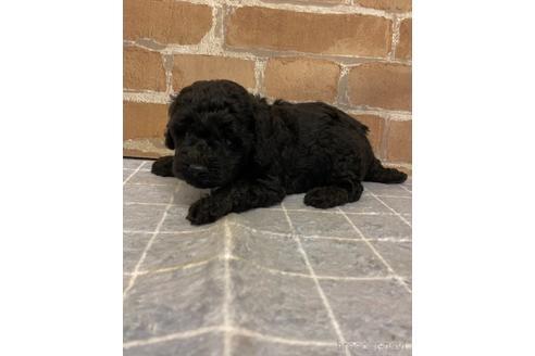 トイプードルの子犬(ID:1251311008)の1枚目の写真/更新日:2018-09-12