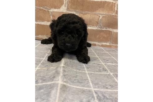 トイプードルの子犬(ID:1251311008)の2枚目の写真/更新日:2018-09-12