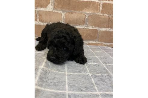 トイプードルの子犬(ID:1251311008)の3枚目の写真/更新日:2018-09-12