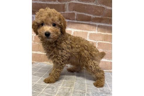 トイプードルの子犬(ID:1251311009)の2枚目の写真/更新日:2018-08-14