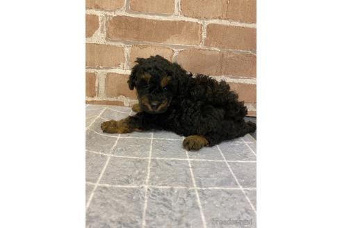 トイプードルの子犬(ID:1251311010)の1枚目の写真/更新日:2018-09-20