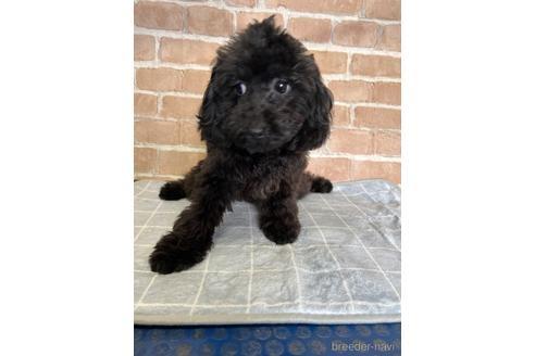 トイプードルの子犬(ID:1251311013)の1枚目の写真/更新日:2018-10-12
