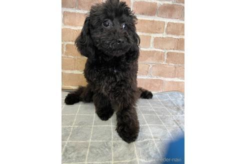 トイプードルの子犬(ID:1251311013)の3枚目の写真/更新日:2021-09-10