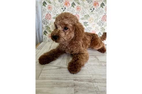 トイプードルの子犬(ID:1251311015)の1枚目の写真/更新日:2020-11-20