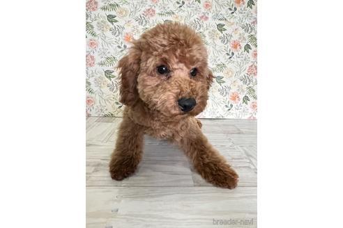 トイプードルの子犬(ID:1251311015)の2枚目の写真/更新日:2020-11-20