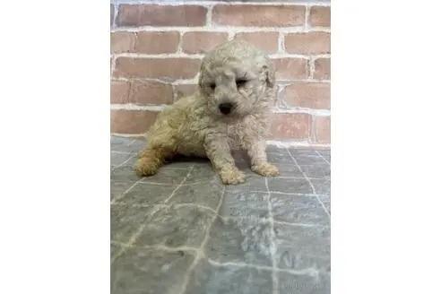 トイプードルの子犬(ID:1251311016)の1枚目の写真/更新日:2018-11-19