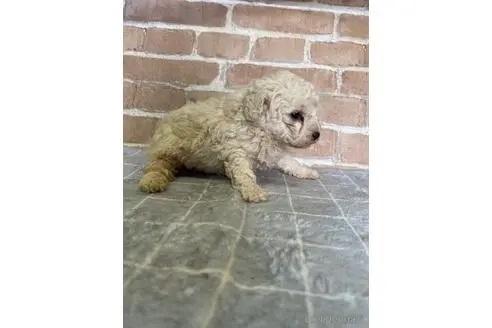 トイプードルの子犬(ID:1251311016)の2枚目の写真/更新日:2018-11-19