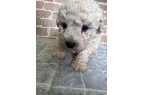 トイプードルの子犬(ID:1251311016)の3枚目の写真/更新日:2018-11-19