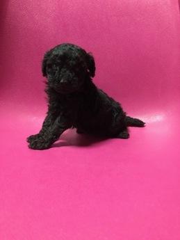 トイプードルの子犬(ID:1251311018)の1枚目の写真/更新日:2018-10-12