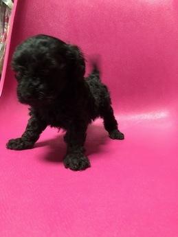 トイプードルの子犬(ID:1251311018)の3枚目の写真/更新日:2018-10-12