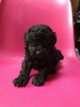トイプードルの子犬(ID:1251311021)の2枚目の写真/更新日:2018-11-30