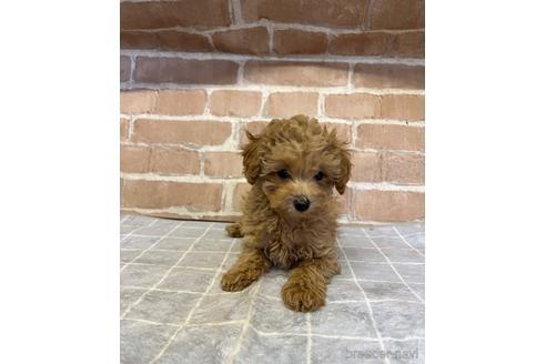 トイプードルの子犬(ID:1251311024)の1枚目の写真/更新日:2021-09-10