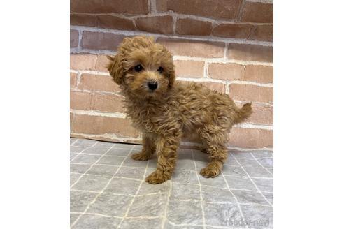 トイプードルの子犬(ID:1251311024)の2枚目の写真/更新日:2021-09-10