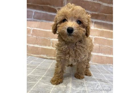 トイプードルの子犬(ID:1251311024)の3枚目の写真/更新日:2021-09-10