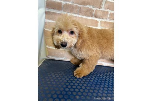 トイプードルの子犬(ID:1251311025)の1枚目の写真/更新日:2020-11-20
