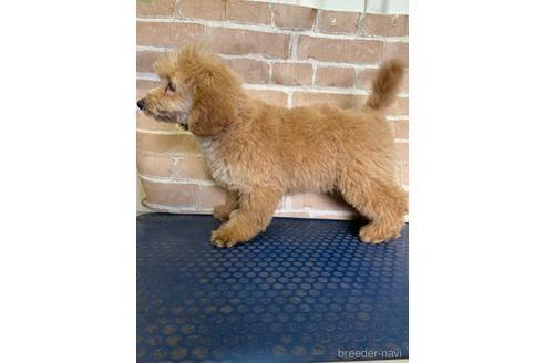トイプードルの子犬(ID:1251311025)の2枚目の写真/更新日:2020-11-20