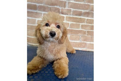 トイプードルの子犬(ID:1251311025)の3枚目の写真/更新日:2020-11-20