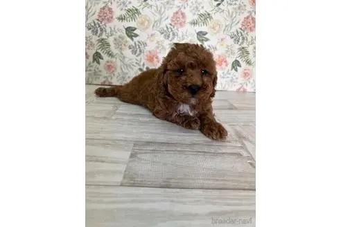トイプードルの子犬(ID:1251311026)の1枚目の写真/更新日:2019-06-17