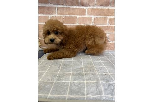 トイプードルの子犬(ID:1251311026)の2枚目の写真/更新日:2019-06-17