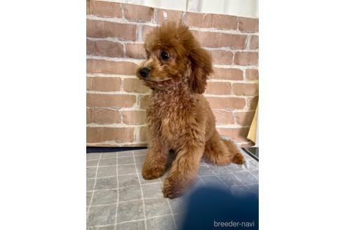 トイプードルの子犬(ID:1251311026)の3枚目の写真/更新日:2019-06-17