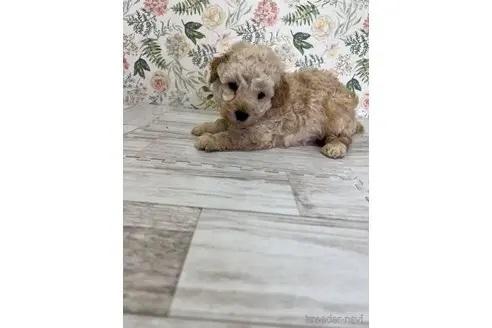 トイプードルの子犬(ID:1251311028)の1枚目の写真/更新日:2021-08-16