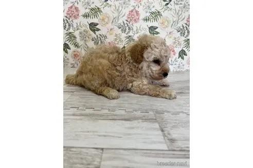 トイプードルの子犬(ID:1251311028)の2枚目の写真/更新日:2021-08-16