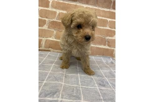 トイプードルの子犬(ID:1251311028)の3枚目の写真/更新日:2021-08-16